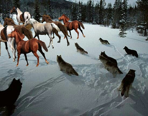 the pack of 狼 hunting down a herd of 马