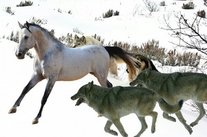 the pack of serigala hunts an wild horse