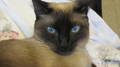 014.JPG - siamese-cats photo