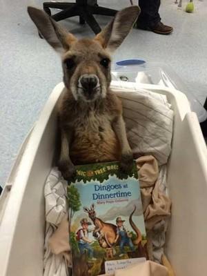 Baby кенгуру
