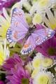 Butterflies - butterflies photo