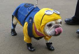 Despicable Me Minions wallpaper possibly with a bulldog and a french bulldog called images  16