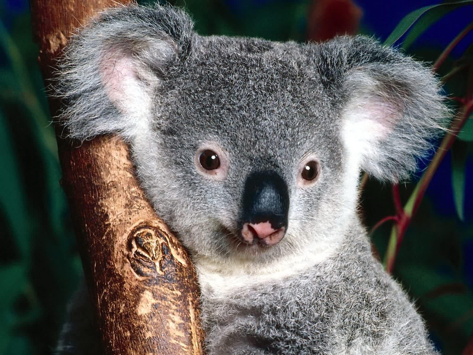 Australia Day Images Koala Hd Wallpaper And Background Photos 39226727