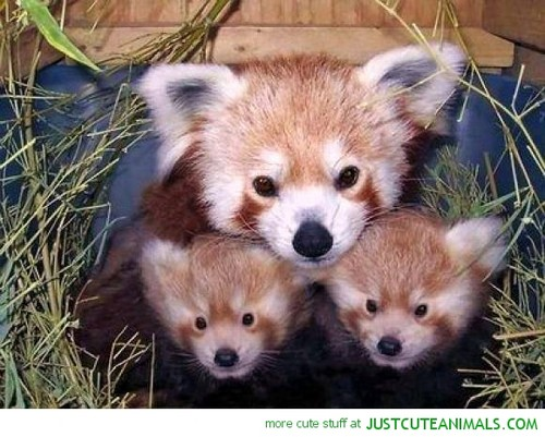Red Pandas Hintergrund titled A red panda family