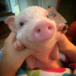 Adorable Pig