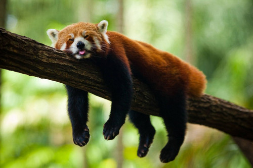 Red pandas wallpaper possibly with a lesser panda entitled Argh...I'm so sleepy!
