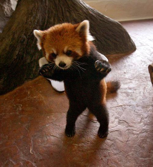Creeping in red panda