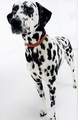 DALMATION  inside spring 2015 HIGH DESERT DOGS - dogs photo