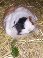 Delta D Shadows  - guinea-pigs photo