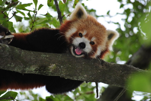 Red Pandas Hintergrund entitled Hi!