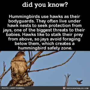 Hummingbirds' Bodyguards
