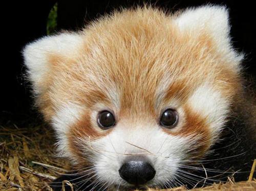 Red Pandas wolpeyper called I'm sleepy!