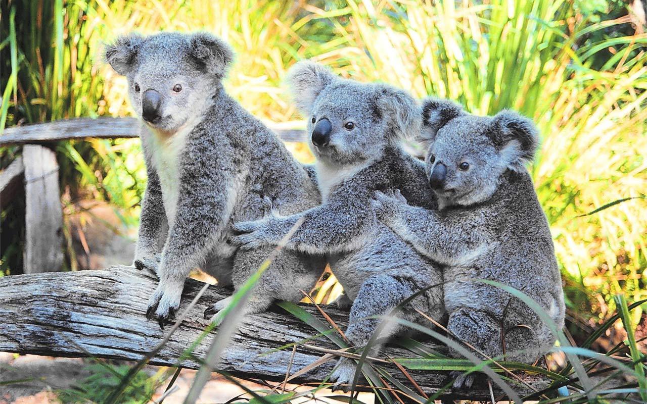 Koalas - Australia Day Wallpaper (39226510) - Fanpop