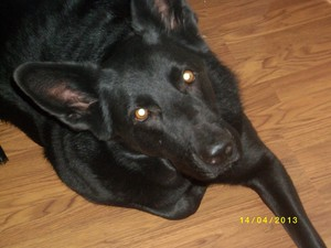 My black German Shepherd