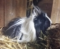 Peruvian Guinea Pig  - guinea-pigs photo