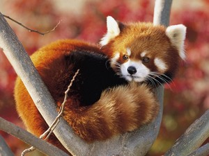 Red panda curled up