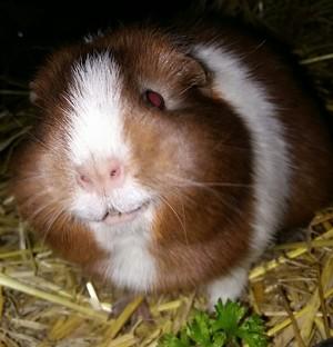 Rosie Guinea Pig