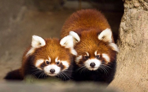 Red pandas wallpaper containing a lesser panda titled Two red pandas.