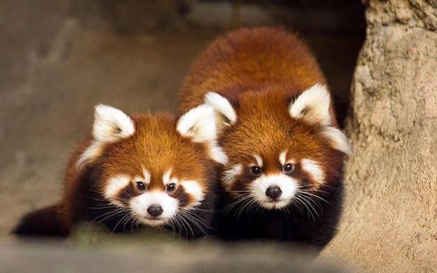 Two red pandas.