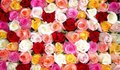 colorful roses wall