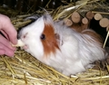 guinea pig Peruvian  - guinea-pigs photo