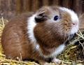 guinea pig  - guinea-pigs photo