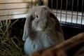 Blue Sable Marten / Holland Lop Mix - bunny-rabbits photo
