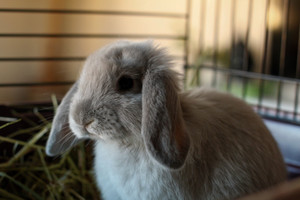 Blue Sable Marten / Holland Lop Mix