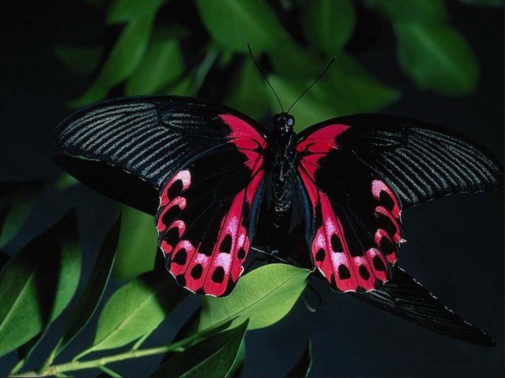 Butterfly Butterflies Wallpaper 39379770 Fanpop