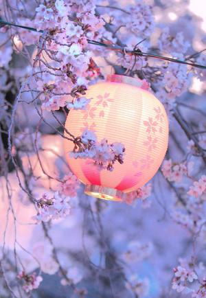 樱桃 Blossom Lantern