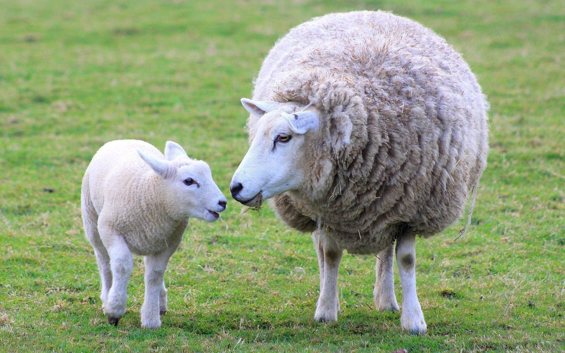 Sheep Images Ewe And Lamb Hd Wallpaper And Background Photos