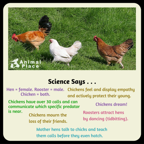 Science News kertas dinding with a cock called Facts About Chickens