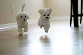 Maltese Puppies6
