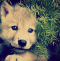 Me as a Pup - wolves photo
