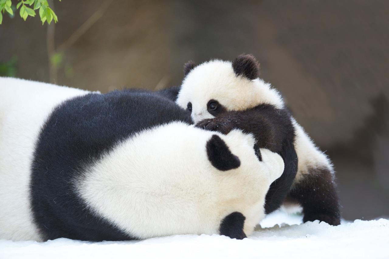 壁纸 大熊猫 动物 1280_853