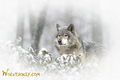 Pink  Eyed Wolf - wolves photo