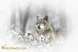 merah jambu Eyed serigala, wolf