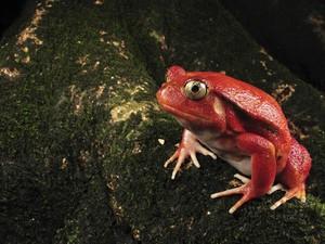 помидор Frog