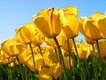 Tulips - justin-bieber photo