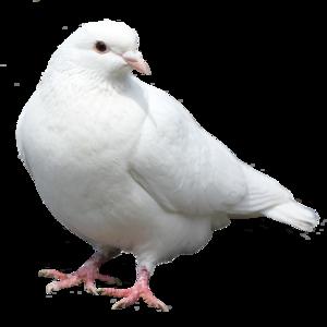 голубь 1