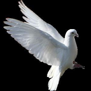 голубь 11