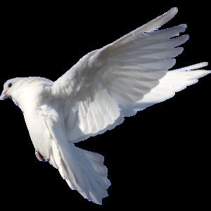 голубь 12