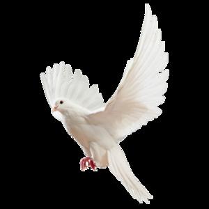 鸽子 19