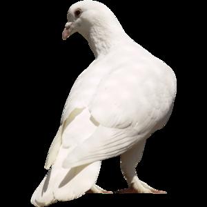 голубь 3