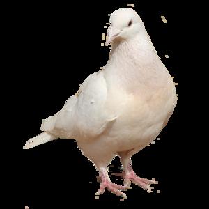 голубь 4