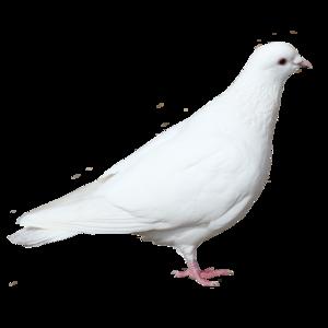 голубь 5