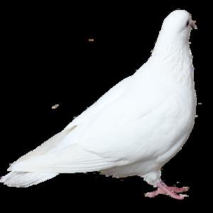 голубь 6