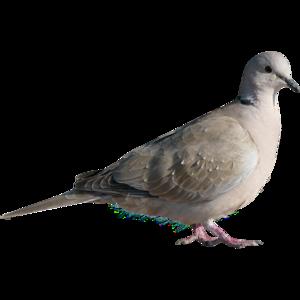 chim bồ câu, bồ câu 8