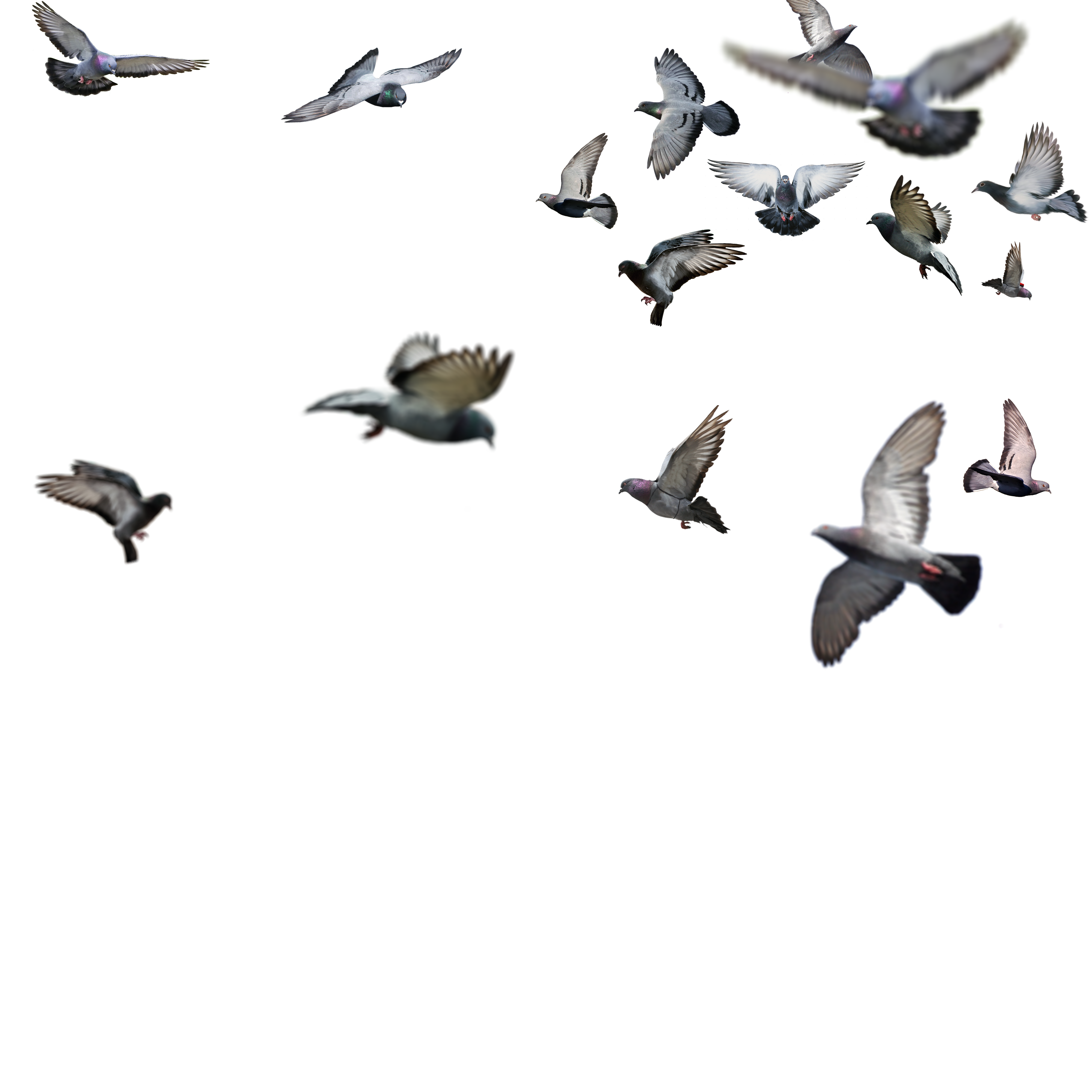 Flying Bird Png