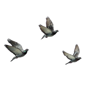 flying birds   8